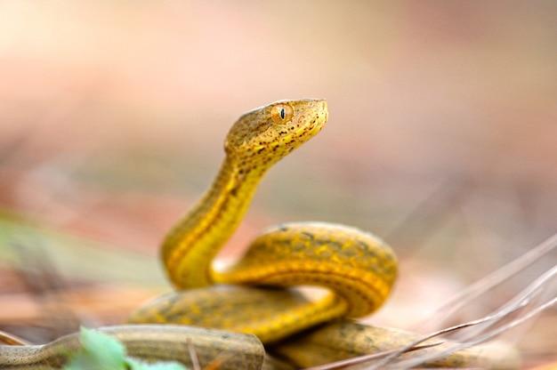흐린 된 녹지에 고립 된 노란 바이퍼 뱀