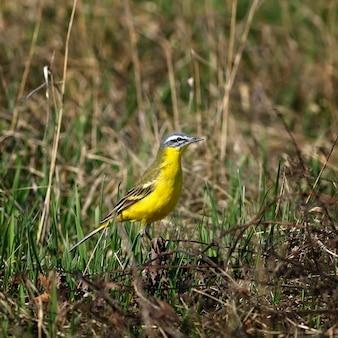Желтая трясогузка на весеннем лугу.