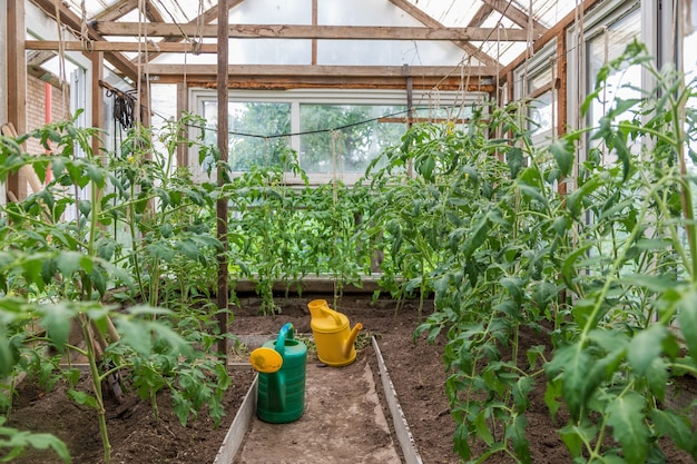 Yellow watering can in a greenhouse with tomato seedlings in a country house
