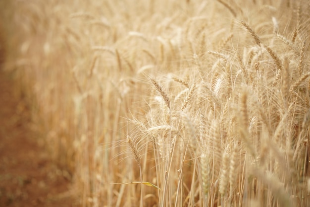 Желтый пшеничный ячменный рис, растущий на рисовых полях на сельскохозяйственных угодьях