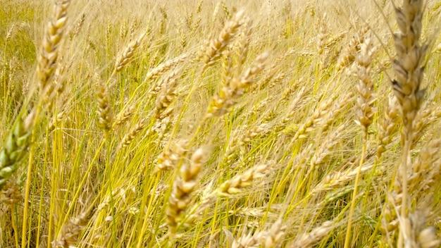 Yellow wheat field in harvest season