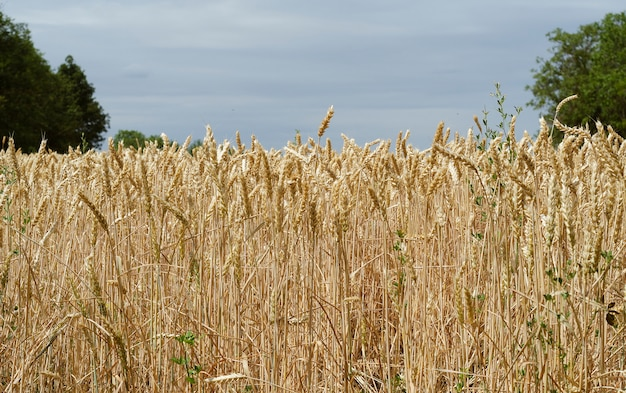 Yellow wheat spikelets in a field