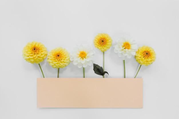 白い背景の上の黄色、白い花ダリア。花の構成。フラットレイ、上面図、コピースペース。夏、秋のコンセプト。