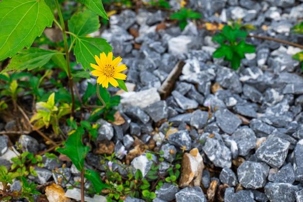 Желтые полевые цветы прорастают сквозь скалы и растут из одного цветка.