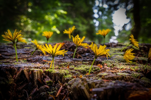 Yellow wild flowers growing on a wood trunk covered by moss