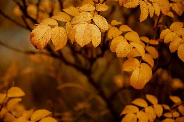 Желтые листья шиповника на размытом осеннем фоне