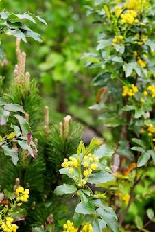 Желтые молодые цветы mahonia aquifolium крупным планом на зеленом размытым хвойным