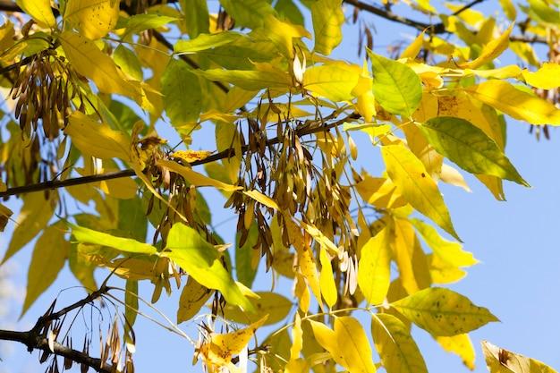 Пожелтевшие листва ясеня и семена деревьев в осеннем парке