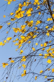 秋の公園の黄ばんだ白樺の葉