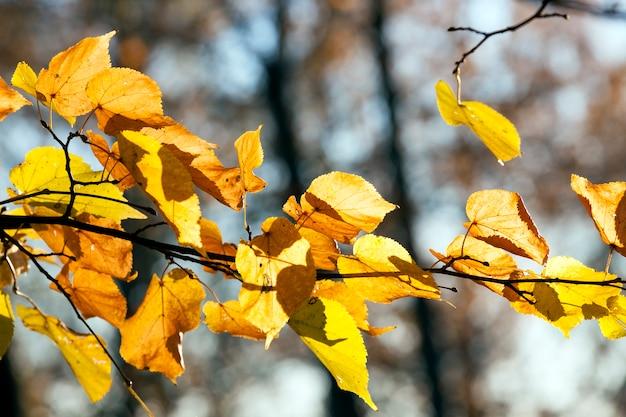 Yellowed and bright sunlight illuminated linden foliage in the autumn season