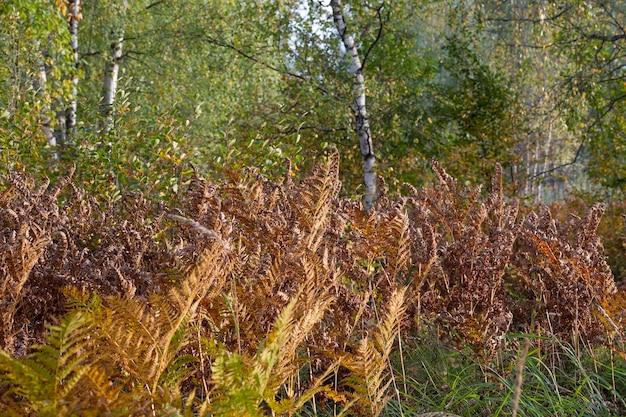 Пожелтевший лист папоротника на размытом фоне. сухой лист папоротника в лесу. осенний тропический фон. бабье лето