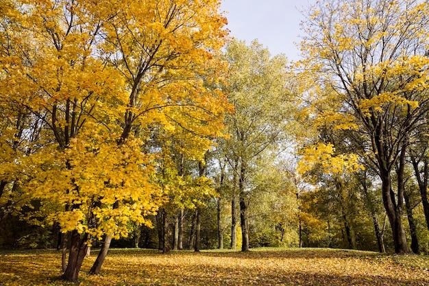 Пожелтевшая листва в осенний сезон в лиственной роще, настоящая природа в осеннем сезоне проявляется и своеобразие.