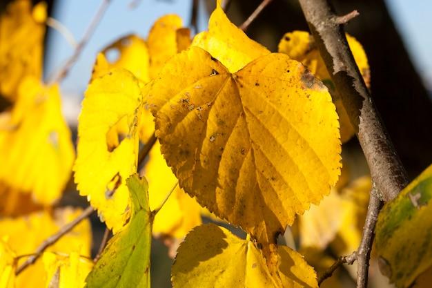 Пожелтевшая листва липы в осенний сезон. фото сделано крупным планом с небольшой глубиной резкости.