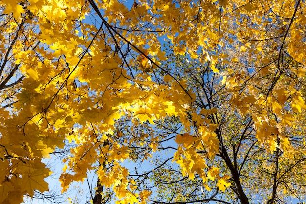Пожелтевшая листва лиственных кленов в осенний сезон крупным планом