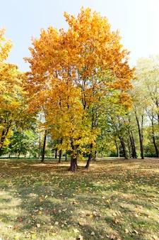 Пожелтевшая листва деревьев, в том числе клена, осенью года. территория парка.