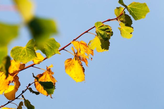 秋の本物の白樺の木の黄ばんだ葉、自然の秋に葉が落ちる間の白樺の木