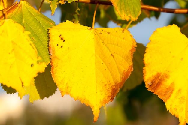 秋の本物の白樺の木の黄ばんだ葉、自然の秋の葉の落下中の白樺の木のクローズアップ