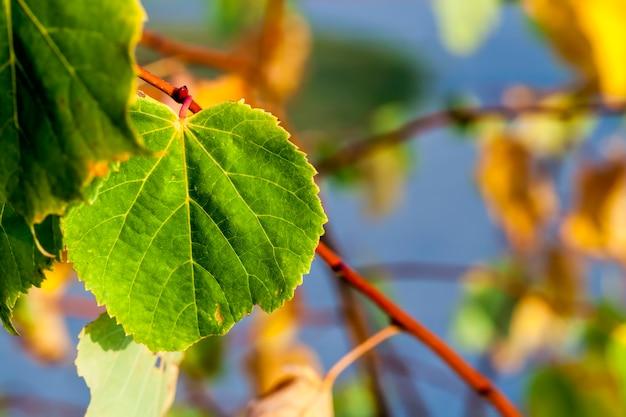 秋の本物のシナノキの木の黄ばんだ葉、自然の中で葉の落下中のシナノキの木のクローズアップ