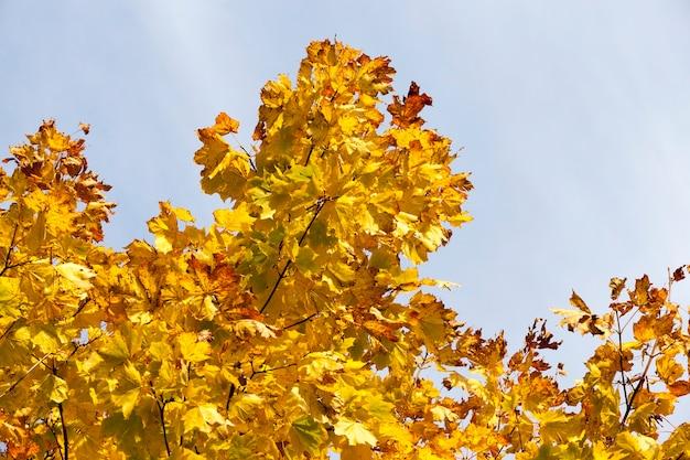 단풍 나무 위에 황변 된 단풍, 푸른 하늘에 대한 근접