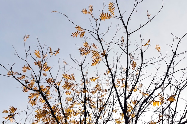 Yellowed foliage of trees, including maple, in autumn of the year. park territory.