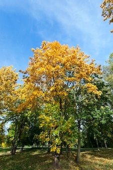 Yellowed foliage of trees, including maple, in autumn of the year