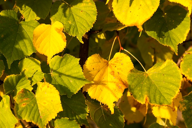 Пожелтевшая листва