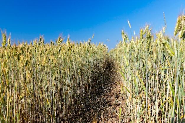 거의 수확 준비가 된 황변 잔디 클로즈업. 푸른 하늘과 필드를 통해 경로
