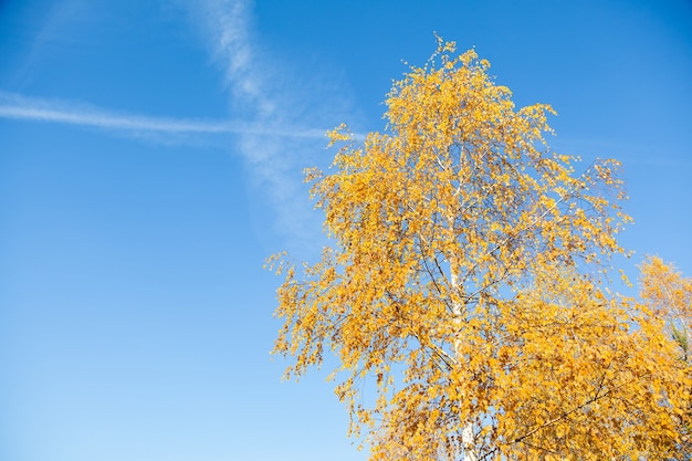 Yellowed leaves of birch with blue sky in the morning