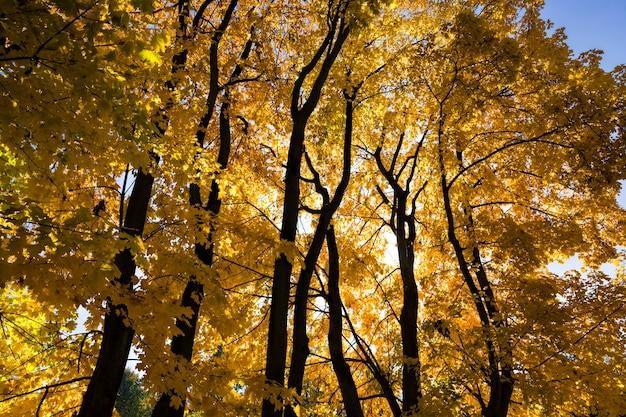 Пожелтевшие листья деревьев осенью, красивая осенняя природа в солнечную погоду, яркая фотосъемка