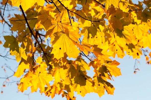 Пожелтевшие кленовые листья в осенний сезон. фото сделано крупным планом с небольшой глубиной резкости.