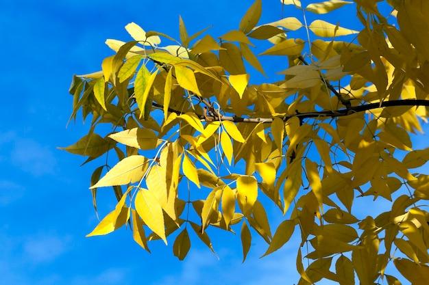Пожелтевшие кленовые листья осенью