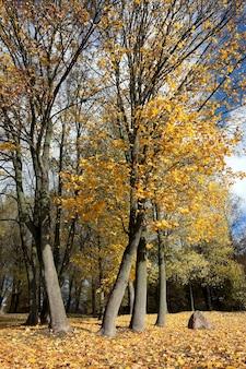 黄ばんだカエデの葉-秋の黄ばみ、カエデの葉、秋の季節、小さな被写界深度のクローズアップを撮影