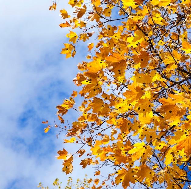 Пожелтевшие кленовые листья пожелтели осенью