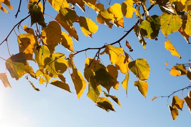Пожелтевшие кленовые листья