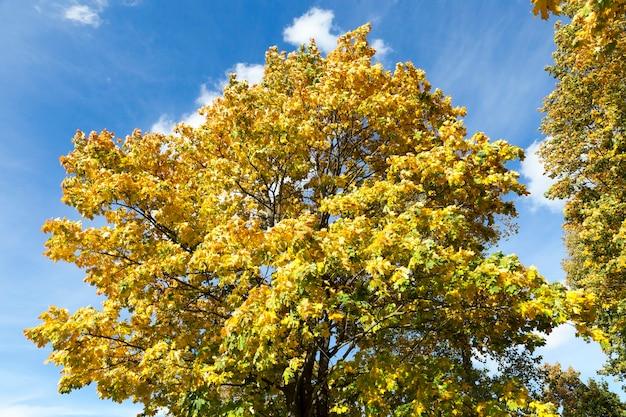 Пожелтевшие стволы клена в осенний сезон, крупным планом в городском парке