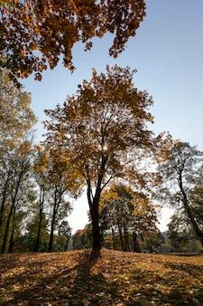 Пожелтевшие стволы клена в осенний сезон. фото крупным планом в городском парке