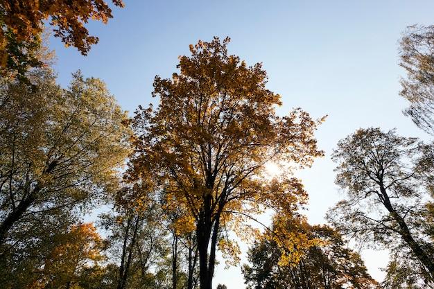 Пожелтевшие стволы клена в осенний сезон.