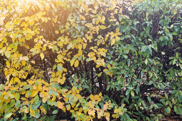 Yellowed plant in autumn as a background. bush in autumn