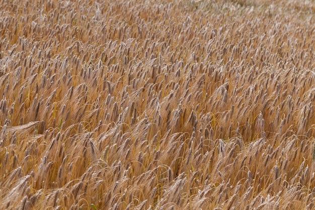 成熟期頃の黄ばんだライ麦畑
