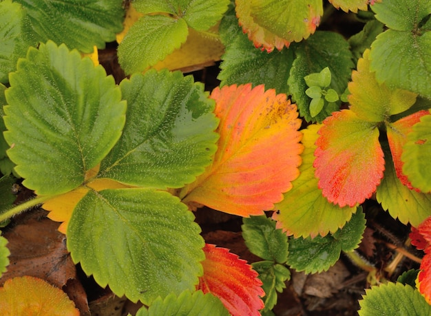 Yellowed 딸기 정원에서 나뭇잎. 평면도