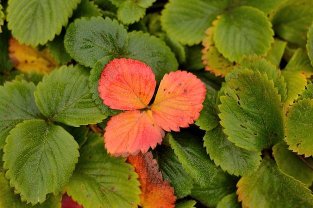 정원에서 황변 딸기 잎