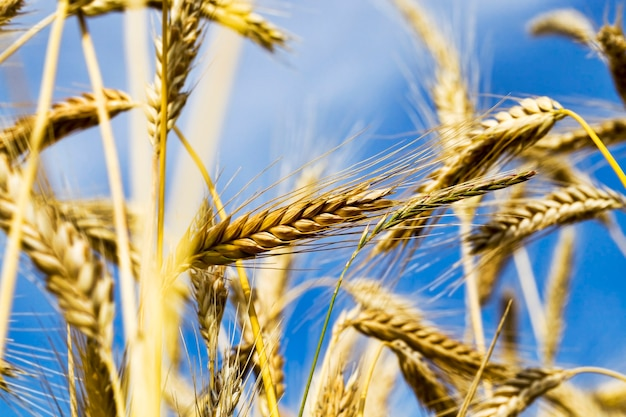 Yellowed wheat in the summer