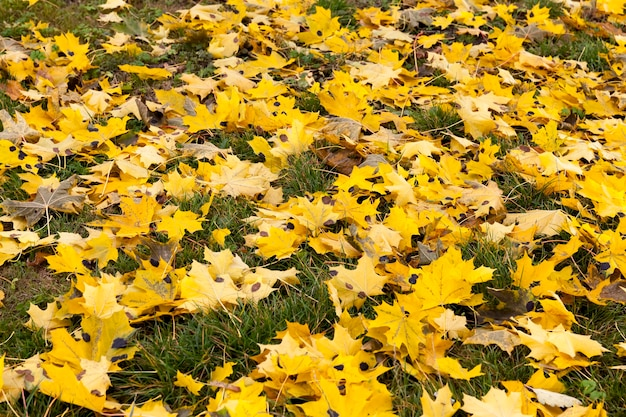Yellowing and changing foliage in the autumn season, warm weather not in late autumn