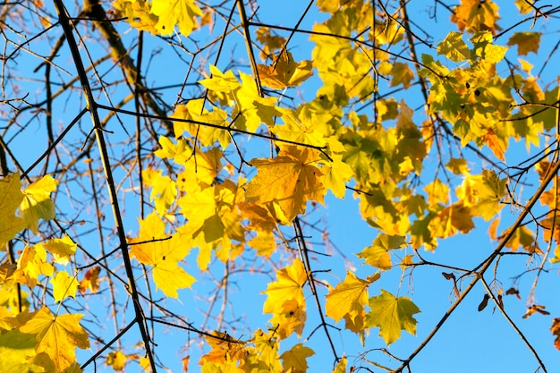 Yellowing leaves on maple trees in the fall season. blue sky in the background.