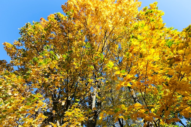 Yellowing leaves on maple trees