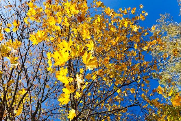 Пожелтение листьев на кленах осенью. голубое небо на заднем плане. фотография сделана крупным планом.