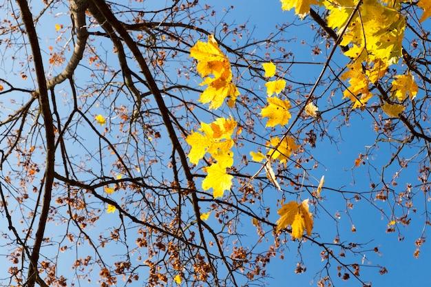가을 시즌에 단풍 나무에 잎이 황변합니다. 백그라운드에서 푸른 하늘입니다. 근접 촬영을 찍은 사진.