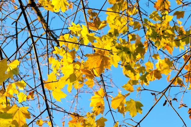 秋のカエデの木に黄ばんだ葉。背景の青い空。