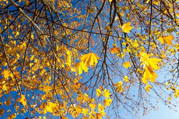 Пожелтение листьев на кленах осенью. листва освещена солнцем в парке. видимая часть голых веток растений
