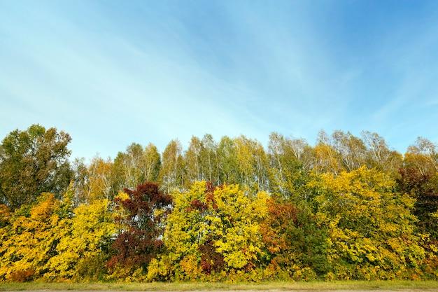 가을 시즌에 단풍 나무에 잎이 황변합니다.